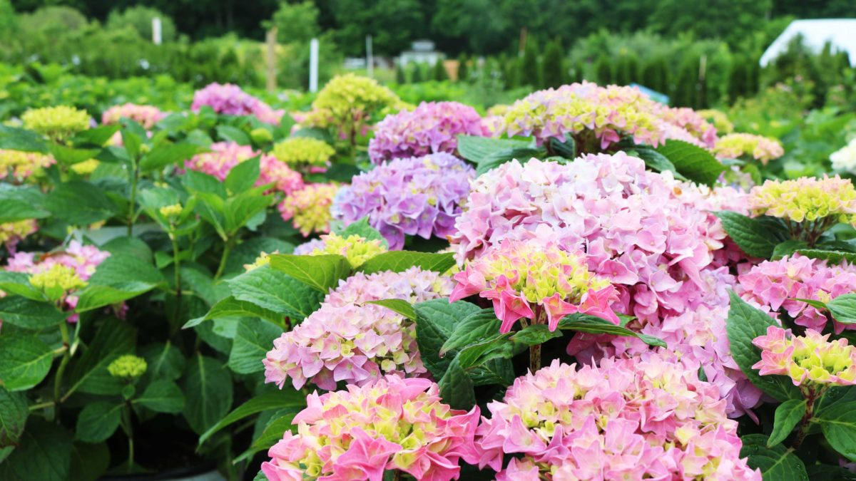 Picking The Right Hydrangea Burnetts Country Gardens