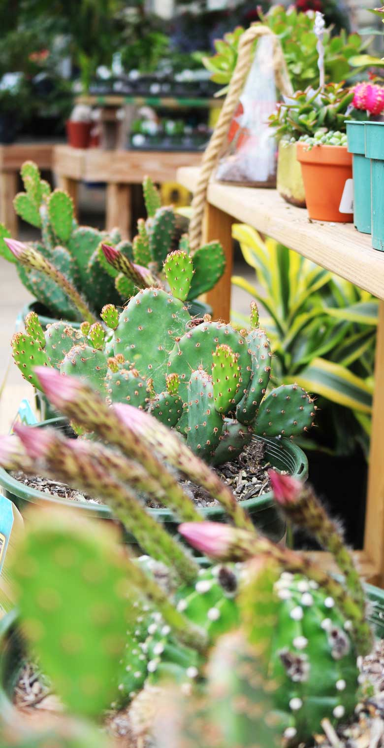 cactus780