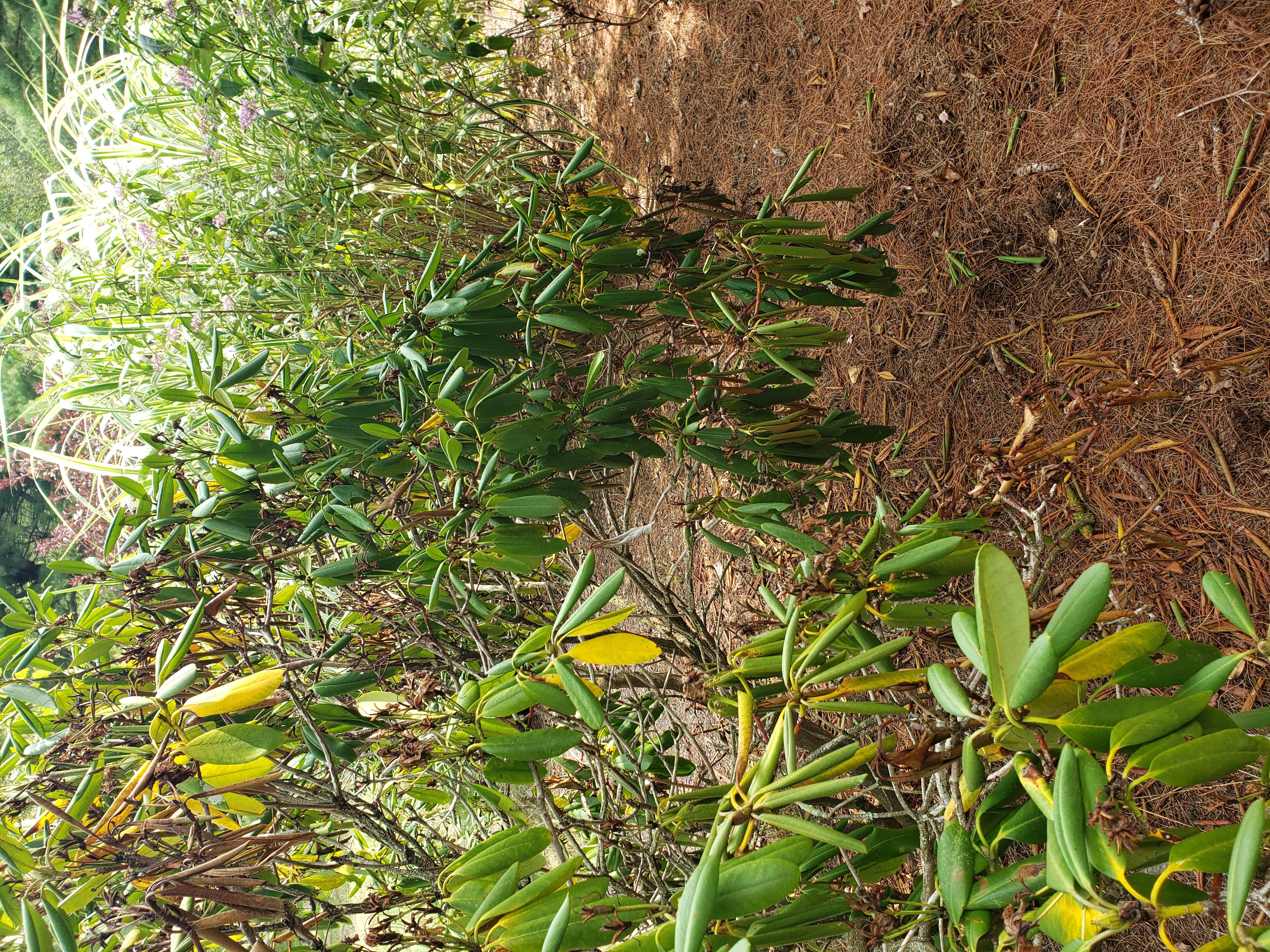Broadleaf_Rhododendron_2